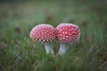 Gros plan de tue-mouche champignons qui poussent sur le champ vert — Photo de stock
