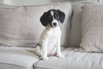 Portrait of cute dog sitting on cushions on sofa at home — Stock Photo