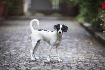 Вид збоку собака стоячи на мощеній вулиці і дивлячись на камеру — стокове фото