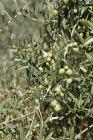 Aceitunas que crecen en árboles soleados - foto de stock