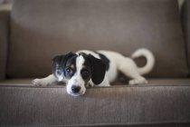 Retrato de cachorro deitado no sofá em casa e olhar para a câmera — Fotografia de Stock