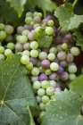 Chiuda sulla vista di uva cresce sulla vite — Foto stock