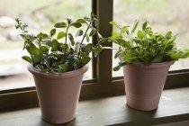 Due vasi di fiori di salvia e menta sul windowsill — Foto stock