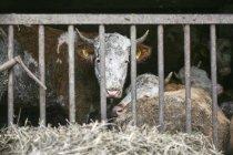Коровы, отдыхая в перо на ферме и глядя на камеру — стоковое фото