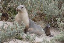 Foca madre e cucciolo di foca, Seal Bay, Kangaroo Island, Australia — Foto stock