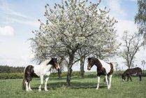 Braune und Weiße Pferde unter sonnigen Frühlingstagen Apfelbaum Blüte — Stockfoto