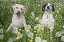 Cães bonitos de retrato no campo de primavera com dentes de leão — Fotografia de Stock