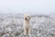 Labradoodle retrato no campo nevado — Fotografia de Stock