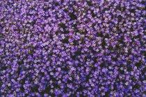 Pieno telaio vibrante viola viola fiori — Foto stock