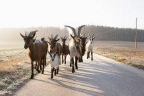 Козы, работающих на сельских дорог — стоковое фото