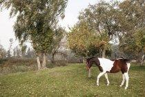 Braune und weiße Pferd im ländlichen Apfelgarten — Stockfoto