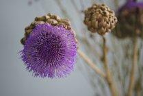 Gros plan fleur d'artichaut violet — Photo de stock