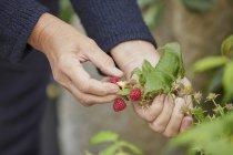 Donna che raccoglie lamponi freschi — Foto stock