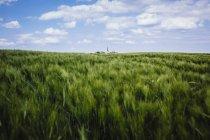 Idyllique, culture et paysage de blé vert rural, Brandebourg, Allemagne — Photo de stock