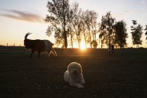 Cão e cabras na exploração agrícola rural no por do sol — Fotografia de Stock
