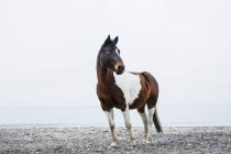 Коричневий і білий кінь стоїть на пляжі — стокове фото