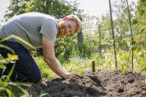Retrato sonriente, hombre confiado con barba plantando verduras en jardín soleado - foto de stock