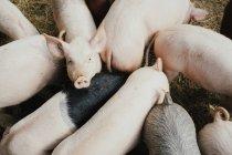 Группа поросят на ферме — стоковое фото
