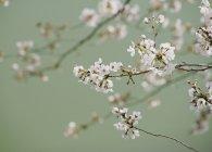 Feche acima das flores de cereja cor-de-rosa delicadas na filial — Fotografia de Stock