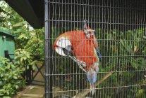 Портрет тропічний червоний папуга сидів на паркан, Очо Ріос, Ямайка — стокове фото