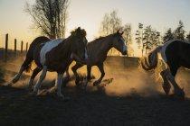 Cavalli in esecuzione in pascolo idilliaco al tramonto, Wiendorf, Meclemburgo, Germania — Foto stock