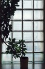 Árvore potted na frente do vidro cubado — Fotografia de Stock