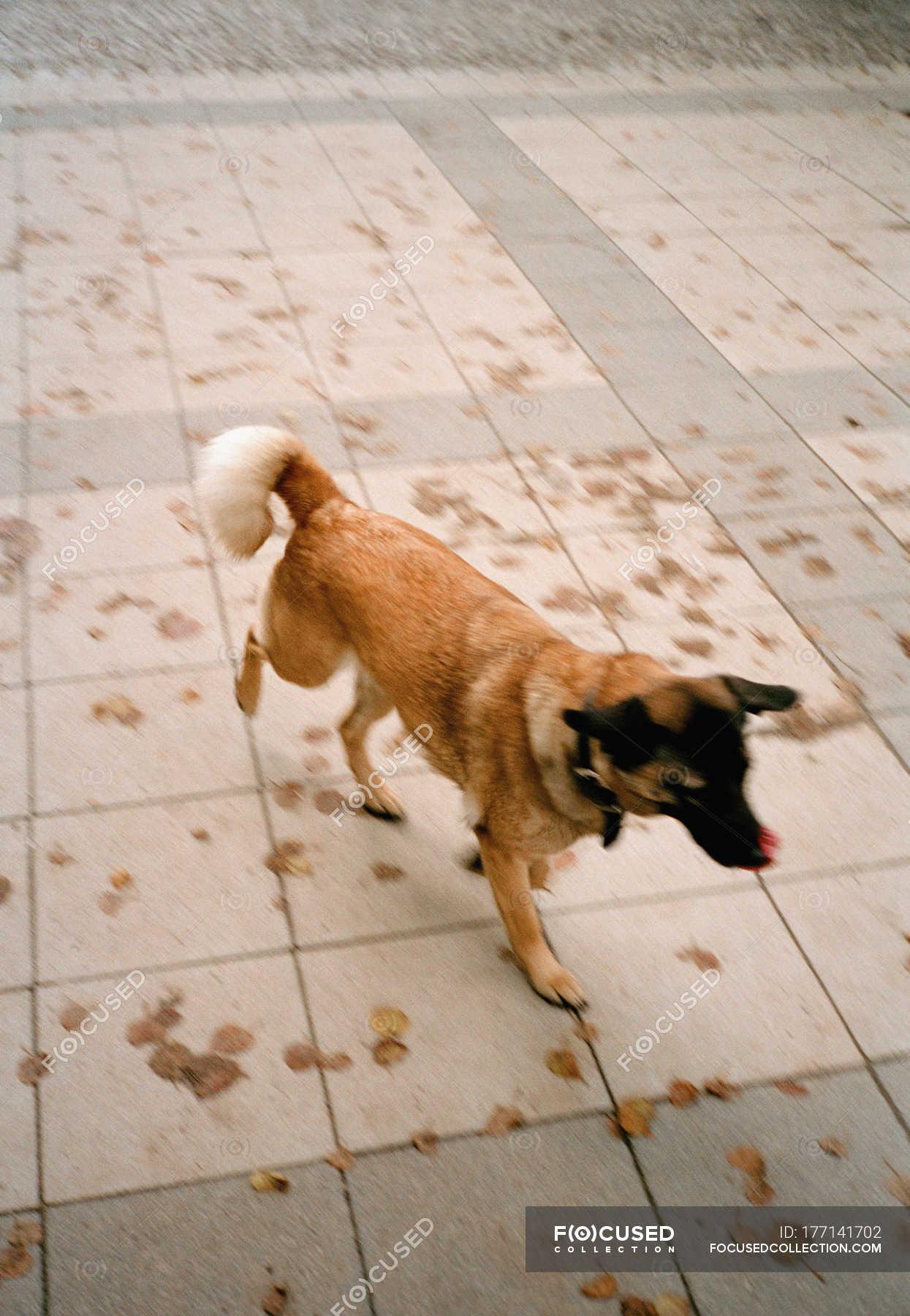 Dog licking nose and walking at tiled