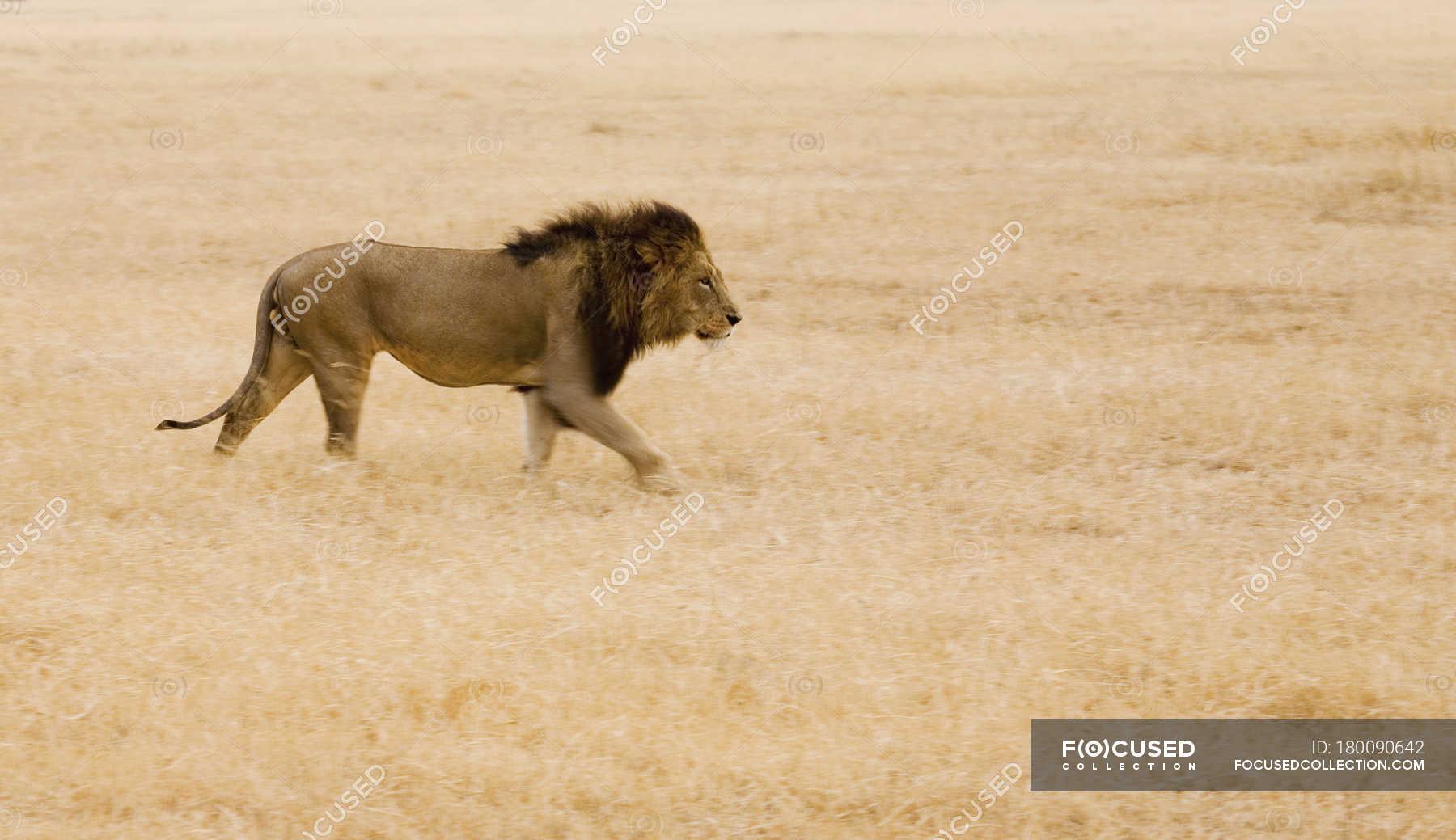 Side view of lion walking at safari — horizontal, Wildlife ... - photo#6