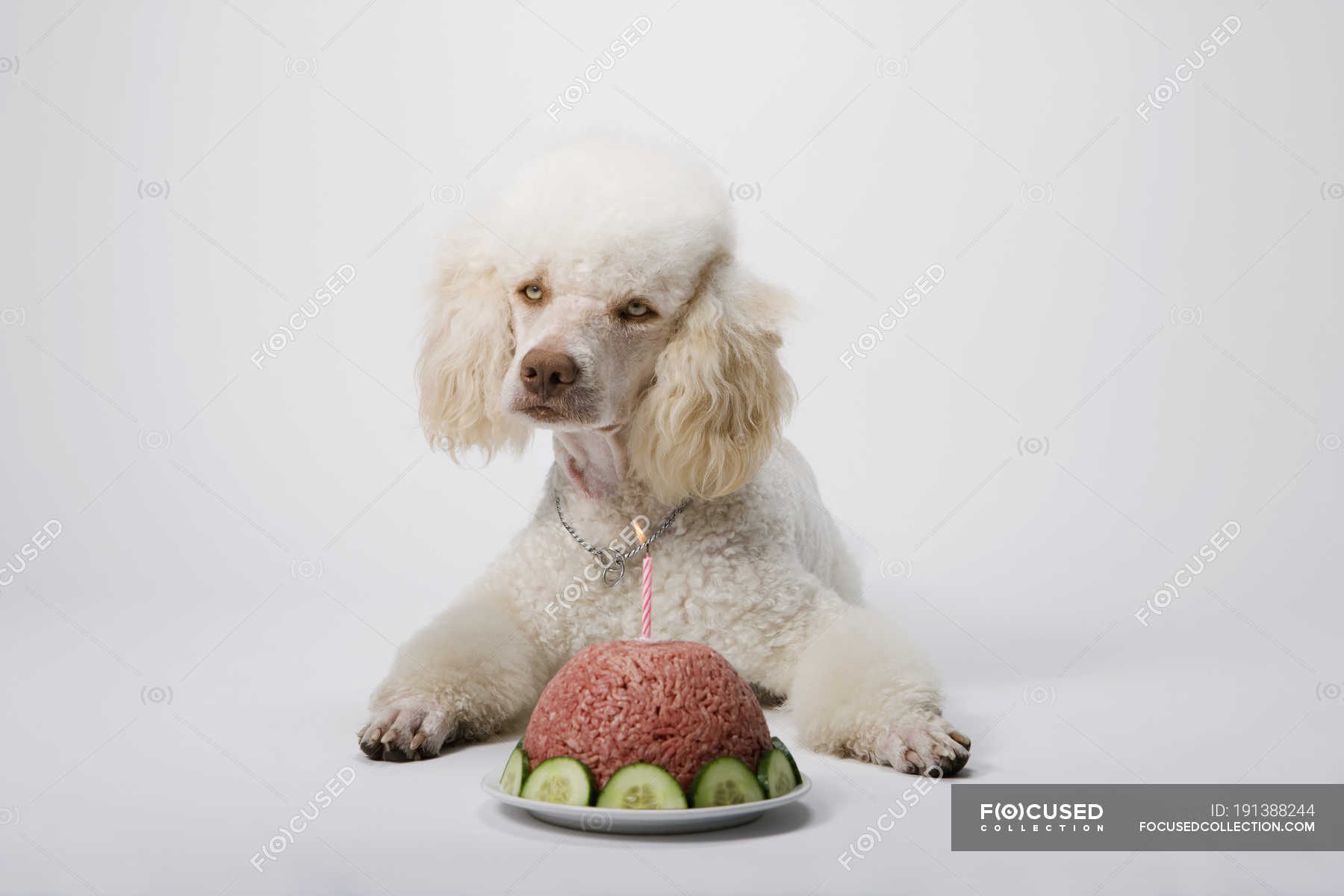 Superb Poodle Lying Down By Birthday Cake Of Ground Meat Candle Funny Birthday Cards Online Aeocydamsfinfo