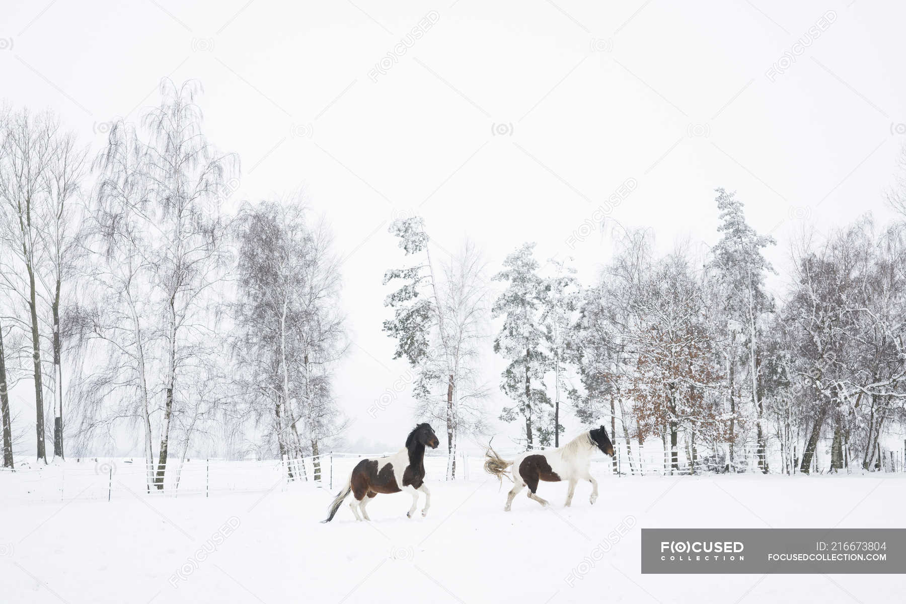 Brown And White Horses Running In Snowy Field Ecology Habitat Stock Photo 216673804