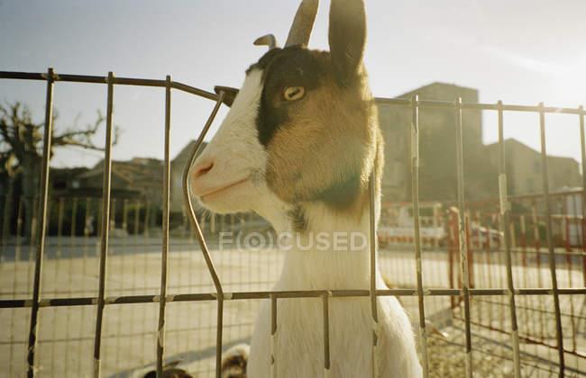 Закрыть вид на козу, просунувшую голову через забор — стоковое фото