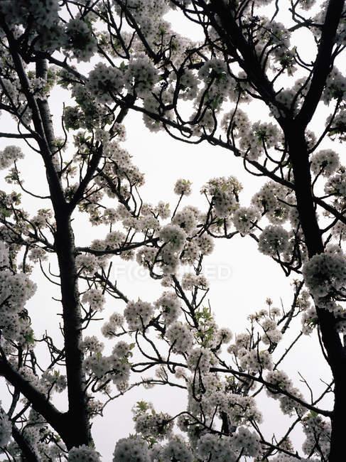 Cerrar vista de ramas con flores de cerezo - foto de stock