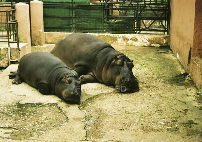 Blick auf Mutter und Baby-Nilpferd im Zoo — Stockfoto