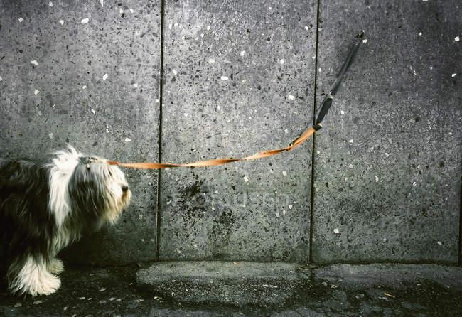 Seitenansicht des Hundes an die Wand gekettet — Stockfoto