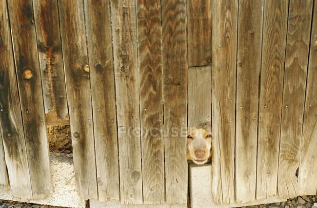 Внутрішніх собаки вдивляючись через отвір в дерев'яний паркан — стокове фото