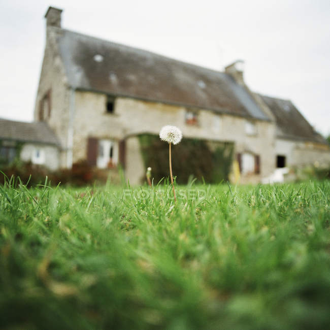 Surface level view of  dandelion on background of rural house — Stock Photo