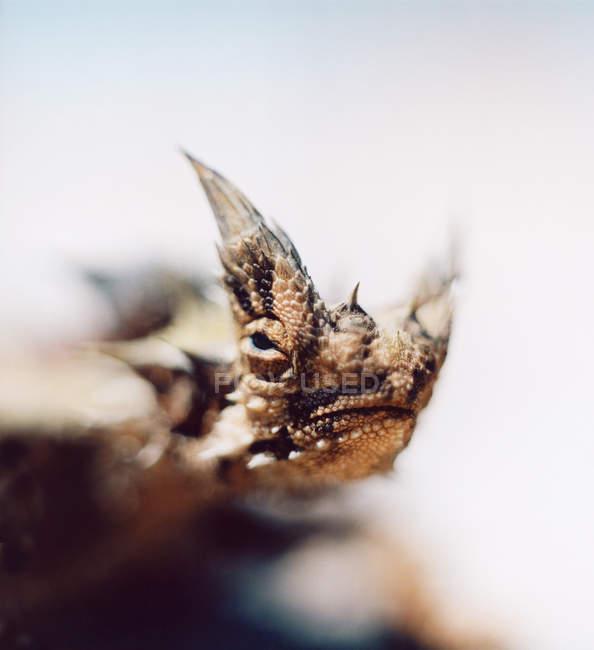 Close-up vista do lagarto do diabo-espinhoso — Fotografia de Stock