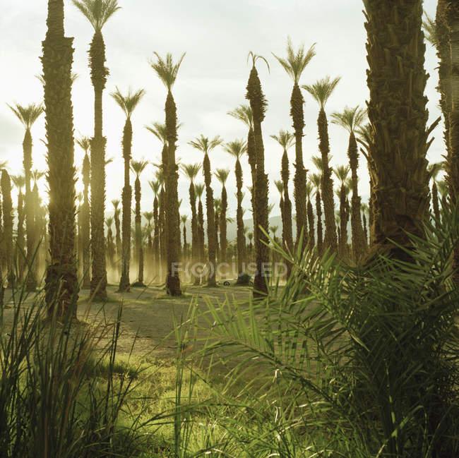 Exibição de linhas de palmeiras iluminadas pelo sol — Fotografia de Stock