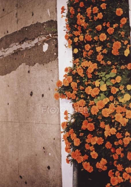 Vista dall'alto del letto di fiori d'arancio accanto al marciapiede — Foto stock