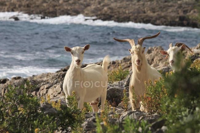 Козы идут по скалистому побережью и смотрят в камеру. — стоковое фото