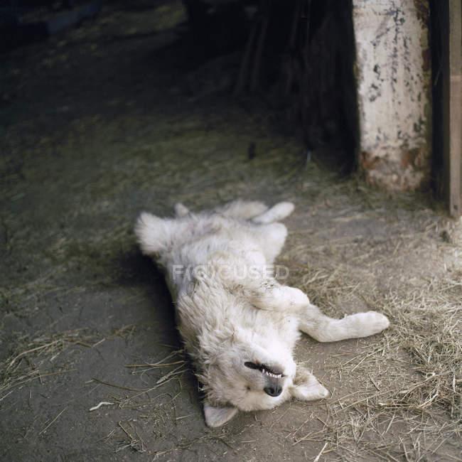 Chien endormi couché sur le dos dans la grange — Photo de stock