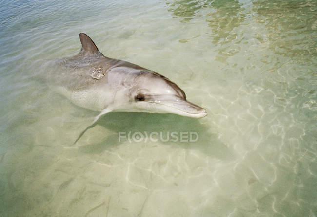 Nahaufnahme der Delphin im seichten Wasser — Stockfoto