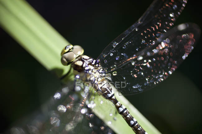 Extremely close up view of dragonfly sitting on leaf — Stock Photo