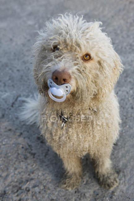 Cane da acqua portoghese con ciuccio in bocca — Foto stock