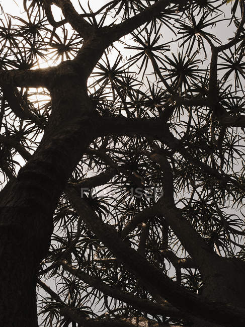 Bottom view of silhouette of aloe tree — Stock Photo