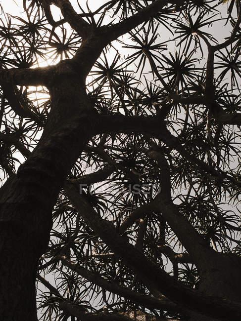 Vista inferior da silhueta da árvore aloe — Fotografia de Stock