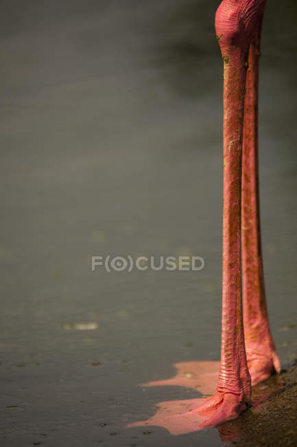 Low section of a flamingo standing in water — Stock Photo