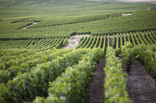 Scenic view of vineyards among rolling hills — Stock Photo