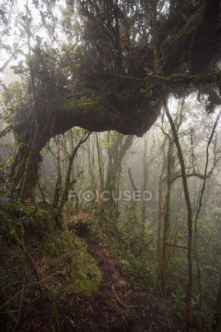 Scenic view of trees and vines in foggy forest — Stock Photo