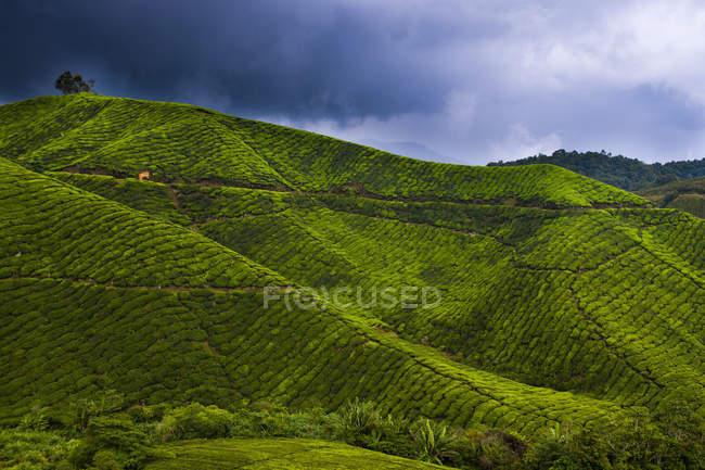 Далекий вид на холмы с чайной плантацией над живописными облаками — стоковое фото